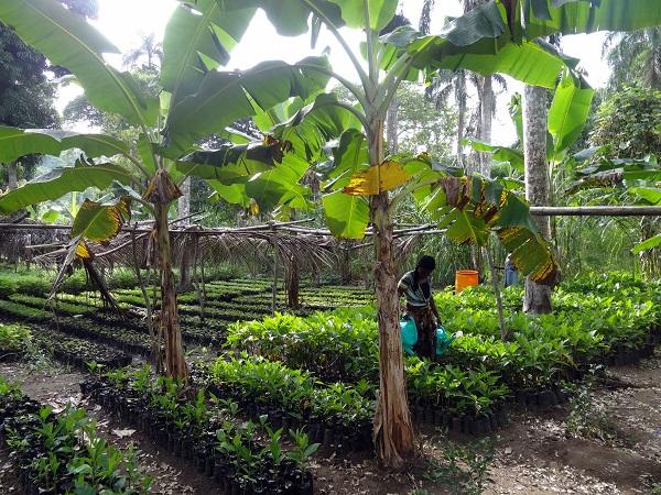 champ de plantules AFAM